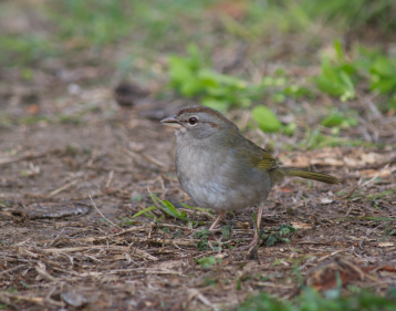 olive-sparrow