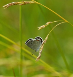tailed-blue